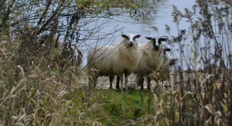 LRSSRS nov 2015 pilot schapen (32)